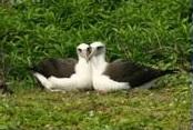 albatross kaena
