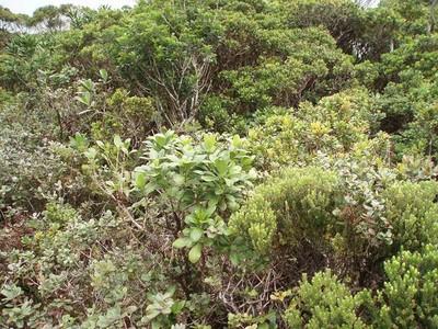The distinctive short-statured bog vegetation of the alakai