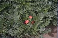 plants kaena