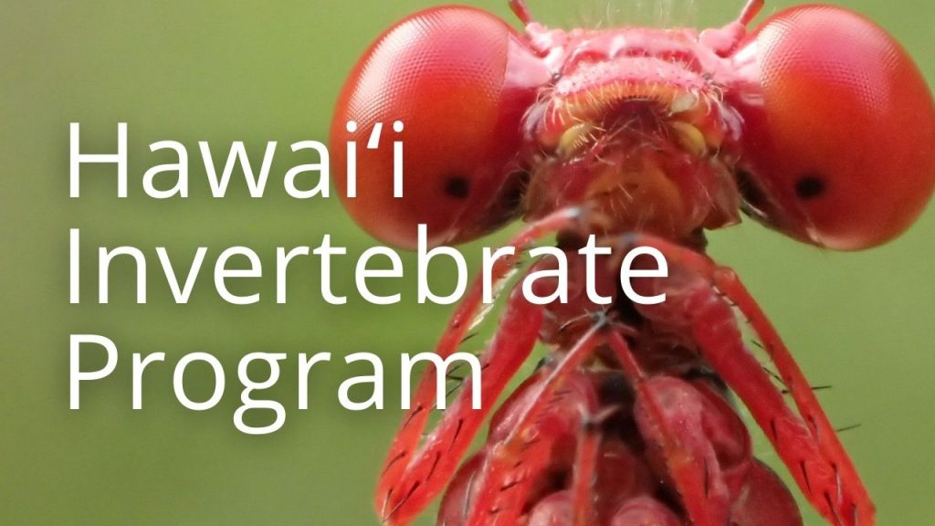 An image of a damselfly linking to a page called Hawaiʻi Invertebrate Program