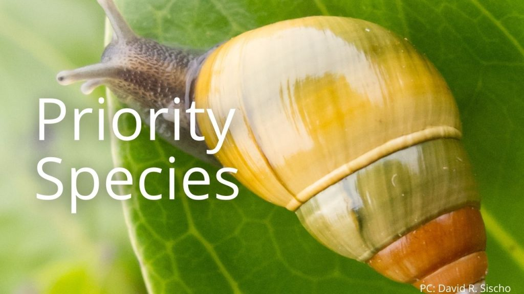An image of a tree snail linking to Priority Species