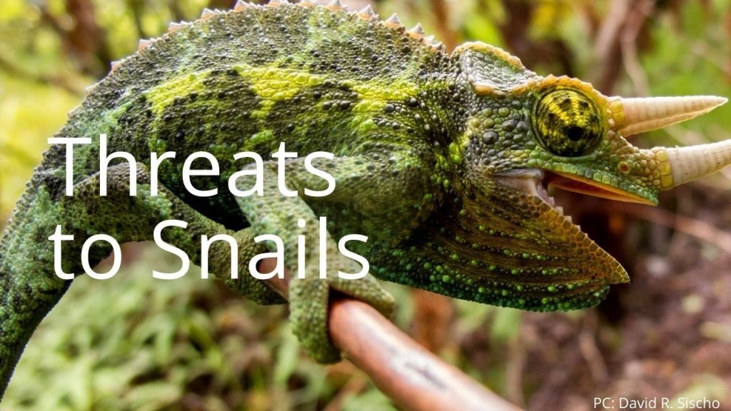 An image of a tree snail linking to Threats to Snails