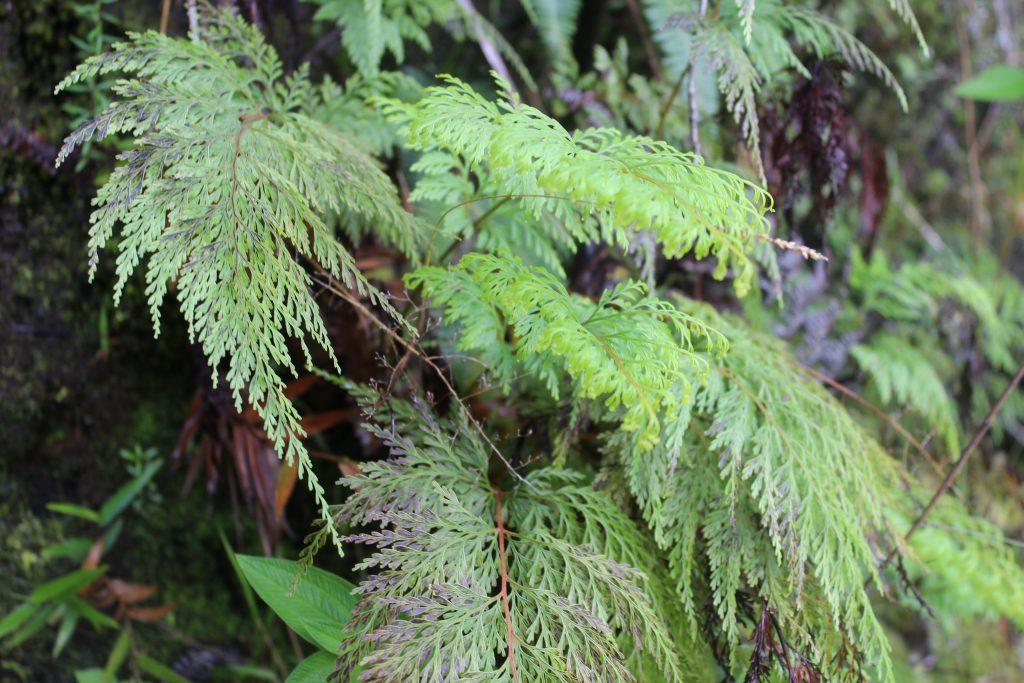 wawae`iole (Phlegmariuris phyllanthsu)