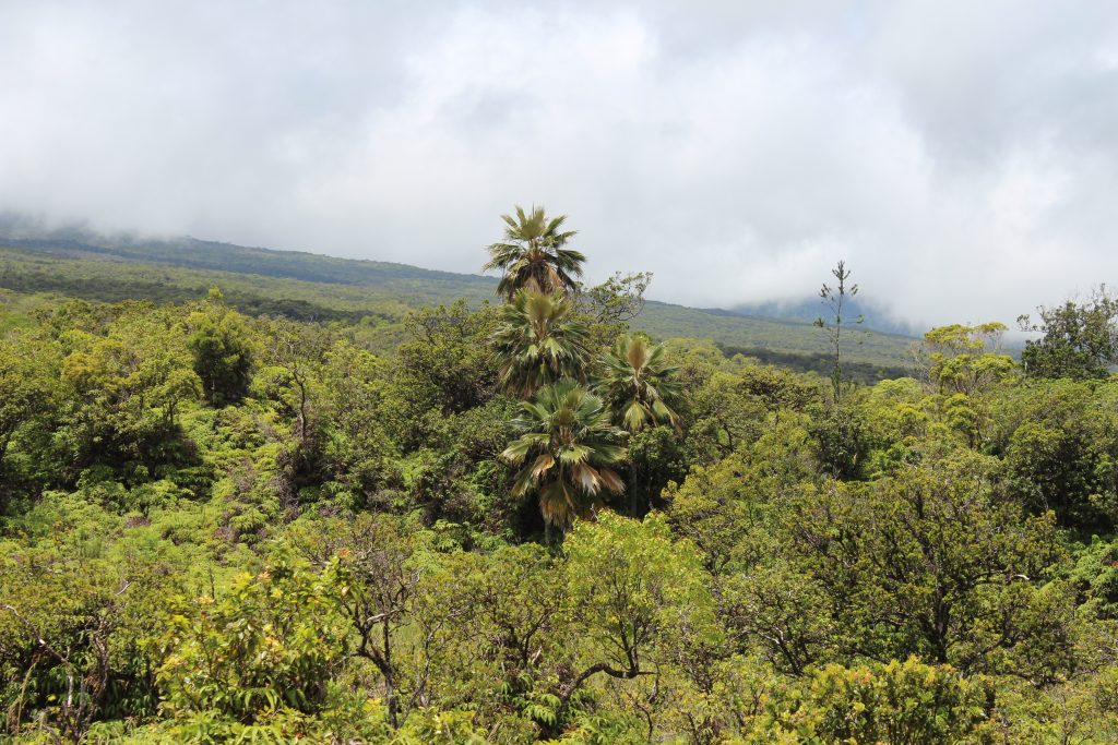 Lolou and native canopy of Hanawi NAR.
