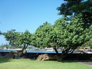 hau both_trees