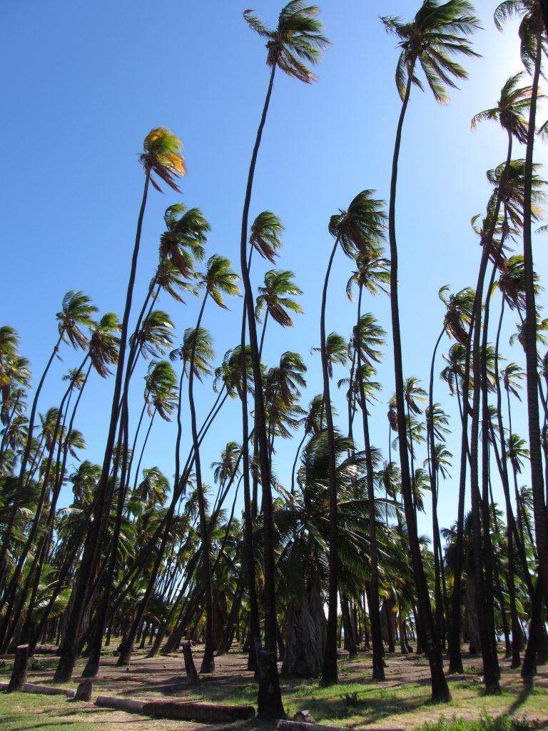 Moloka'i Coconut1