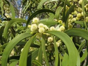 Acacia koa flowers (640x480)