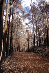 An improved road between burnt Eucalyptus