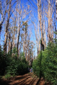 Eucalyptus regrowth