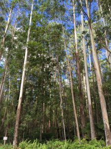 Eucalyptus stand in the WTMA