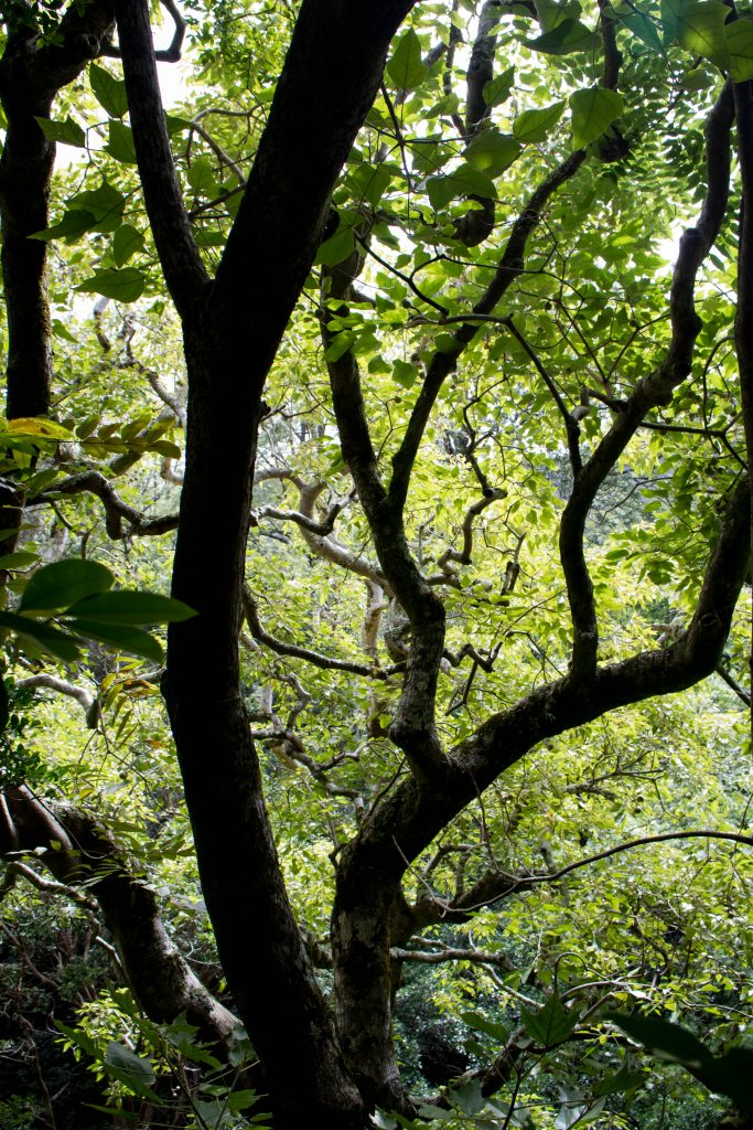 An image of a kukui tree in Waianae Kai Forest Reserve