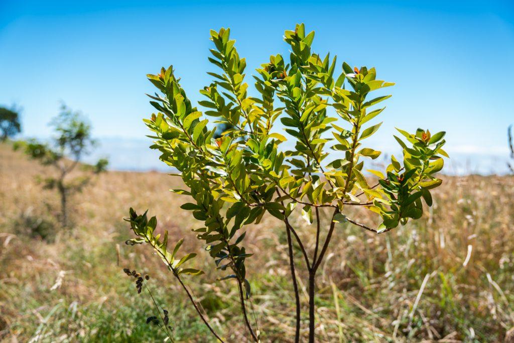 An image of a tree planted at Puʻu Mali