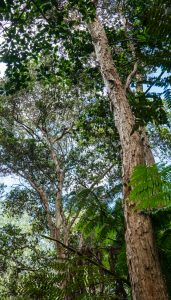 Image of trees in the Kapapala Canoe Forest