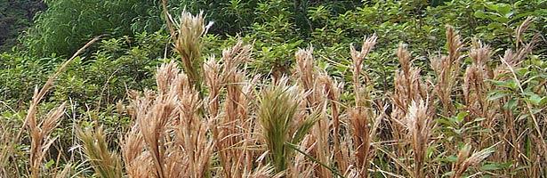 bushbeardgrass