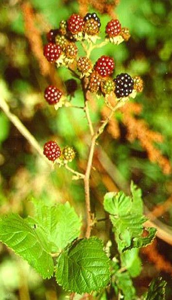 himalayanblackberry3