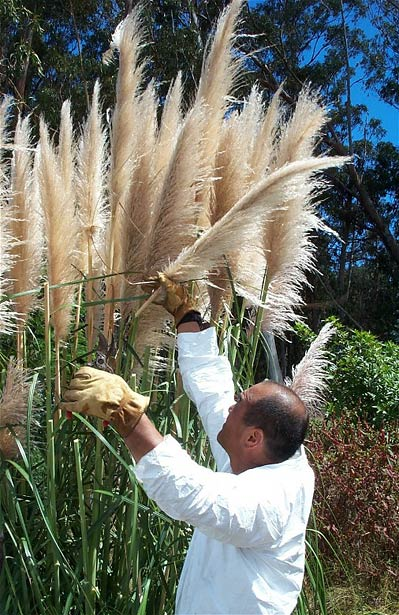 Hawaii Invasive Species Council Pampas Grass