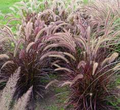 Hawaii Invasive Species Council Fountain Grass