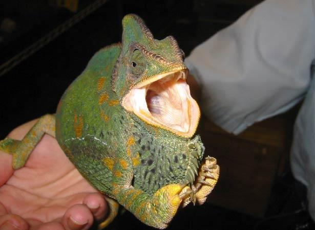 veiledchameleon