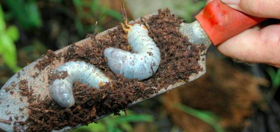 CRB larvae