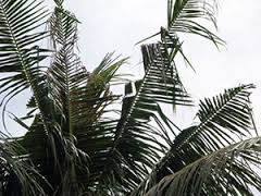 crb palm
