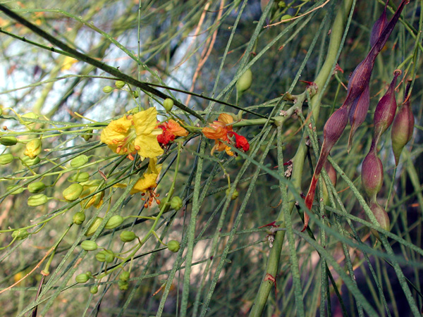 Hawaii invasive species council jerusalem thorn jerusalem thorn has small 1 yellow flowers with orange spots that hang in groups this plant has green seed pods with brown or purple spots thorn mightylinksfo