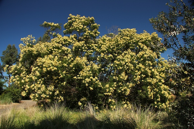 Hawaii Invasive Species Council Black Wattle Acacia Mearnsii