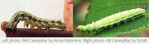 image of ramie moth caterpillar (left) and Kamehameha caterpillar (right)