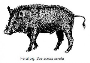 Hunting Feral Pig