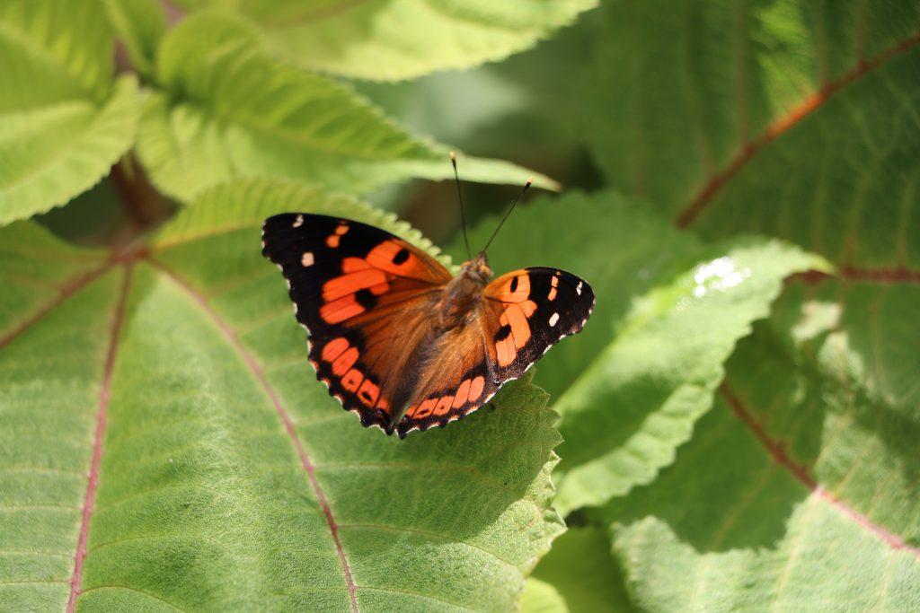 D&Y-Butterfly2
