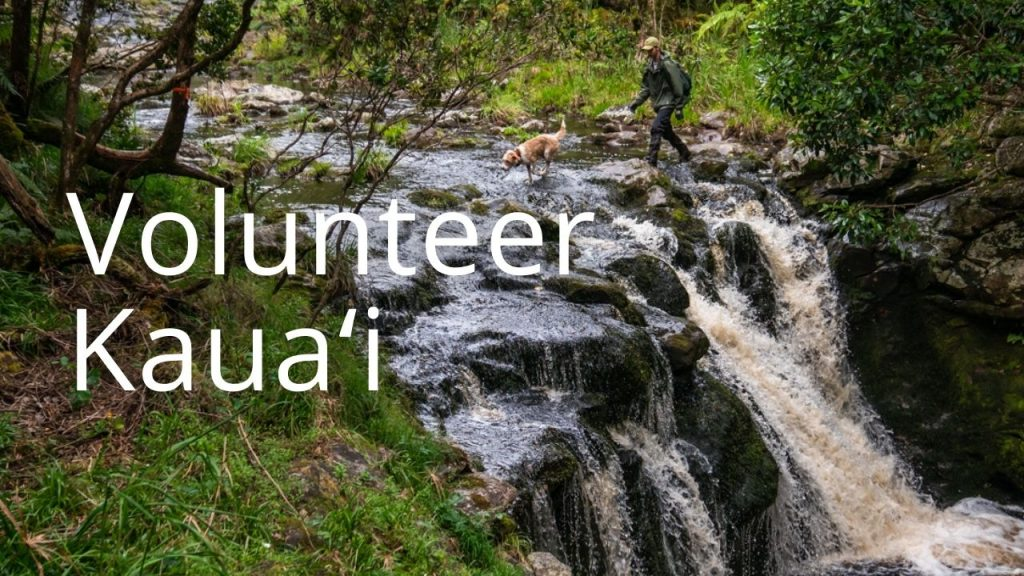 An image of a man and a dog walking across a stream linking to Volunteer Kauaʻi