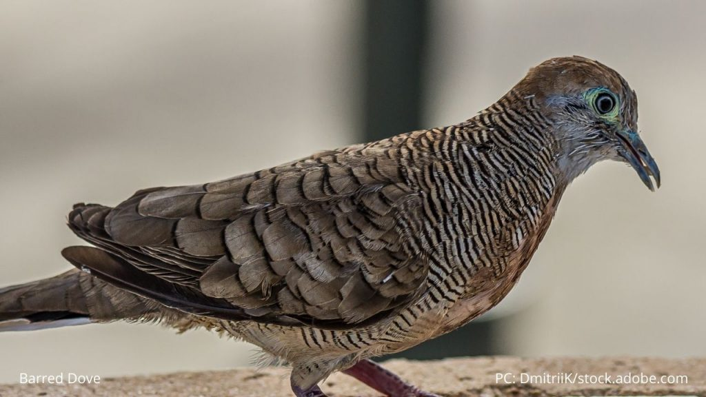 An image of a barred dove