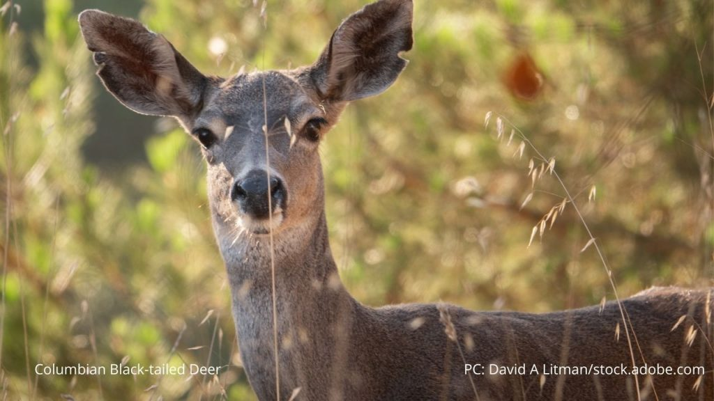 An image of a Columbian black-tailed deer