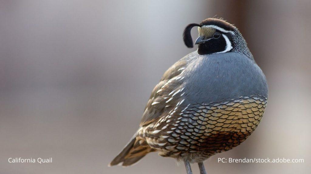 An image of a California quail