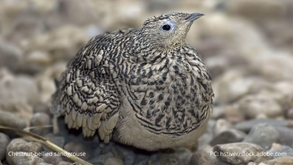 An image of a chestnut-bellied sandgrouse