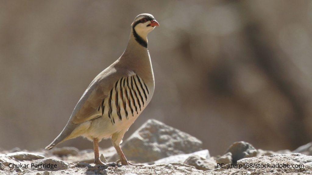 An image of a Chukar Partridge