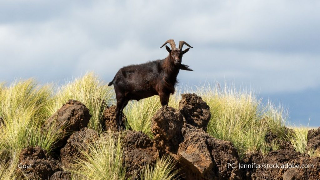 An image of a goat