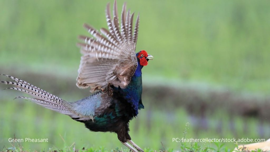 An image of a green pheasant
