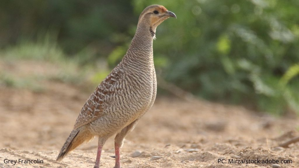 An image of a grey francolin