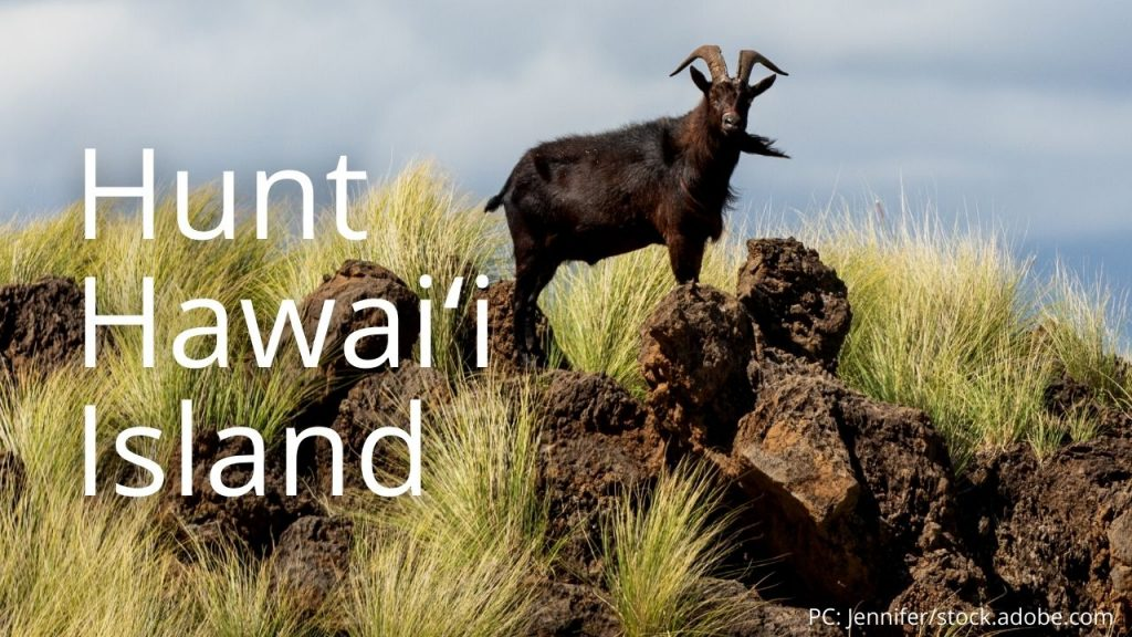 An image of a goat linking to Hunt Hawaiʻi Island