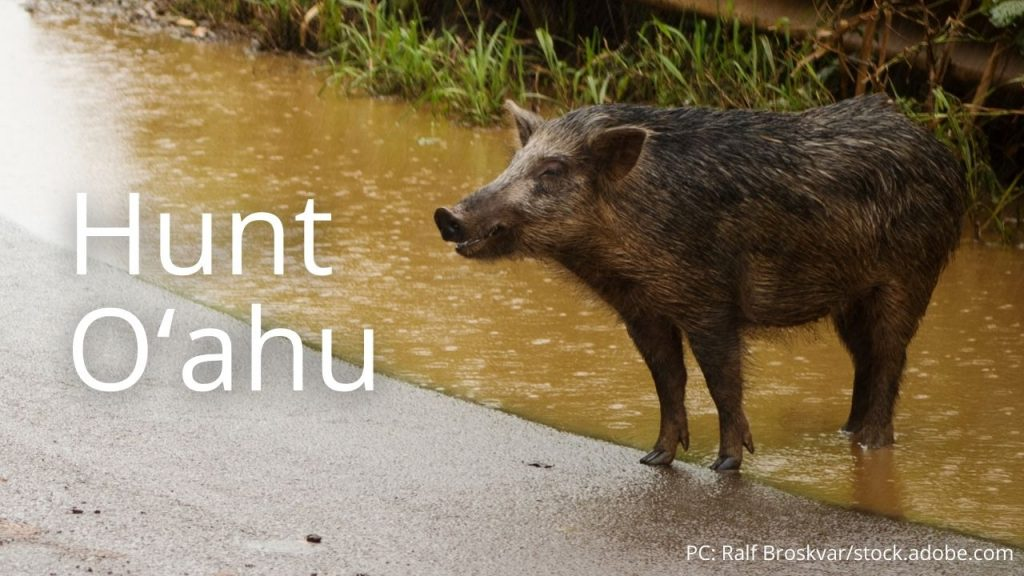 An image of a pig linking to Hunt Oʻahu