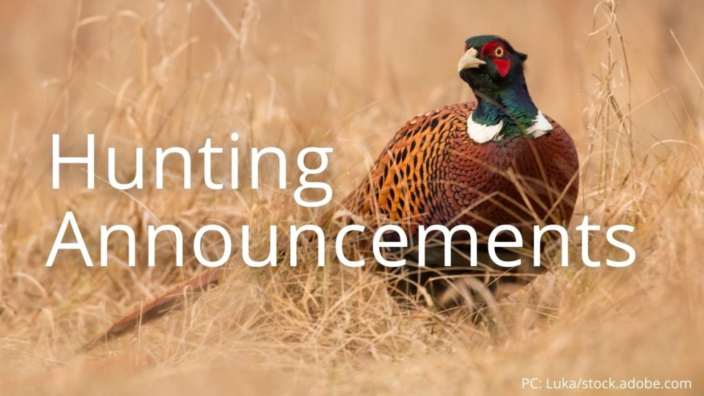 An image of a ring-necked pheasant linking to Hunting Announcements