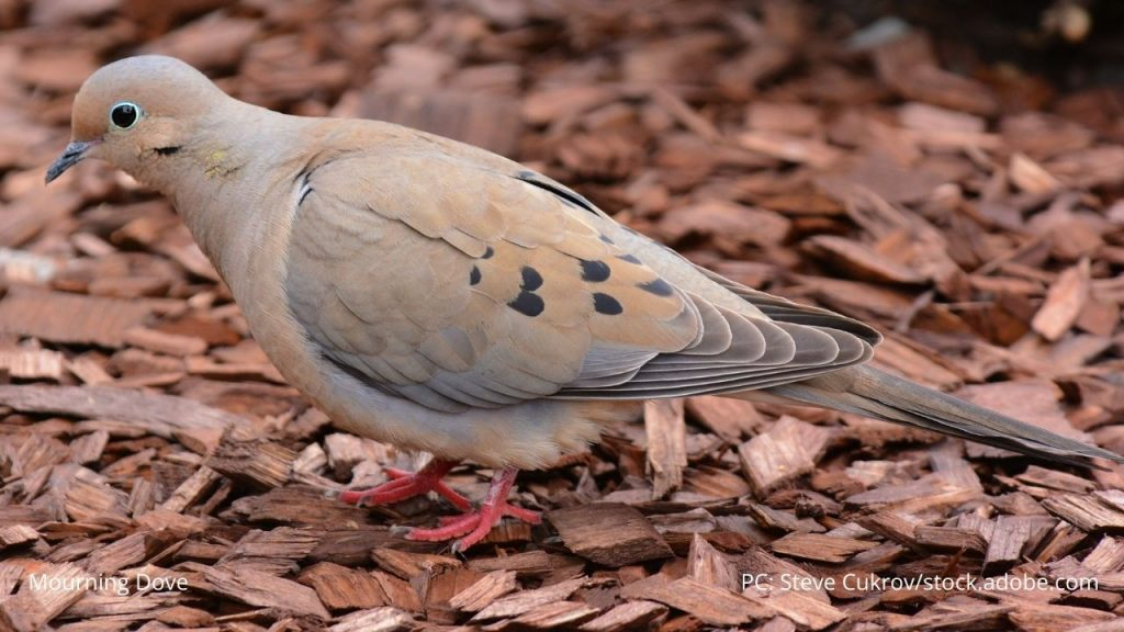 An image of a mourning dove