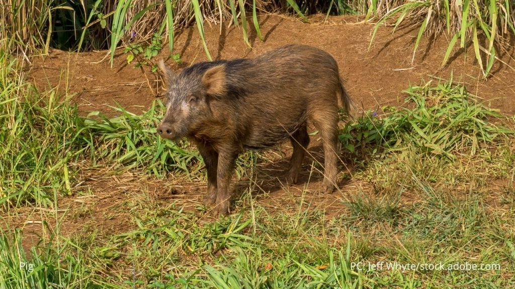 An image of a pig
