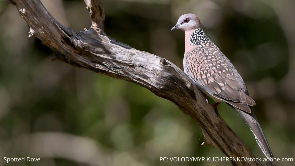 An image of a spotted dove
