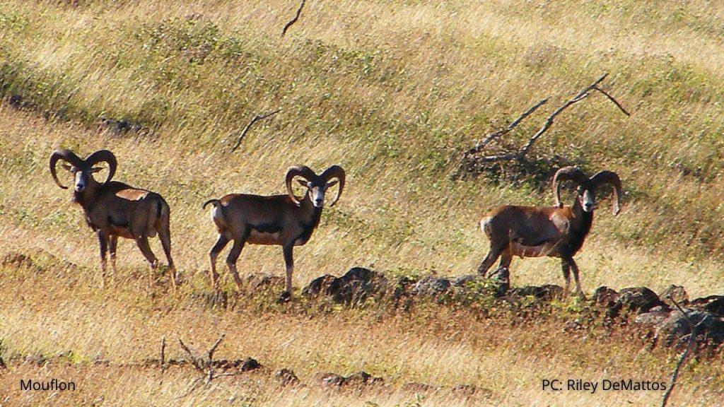 An image of mouflon sheep