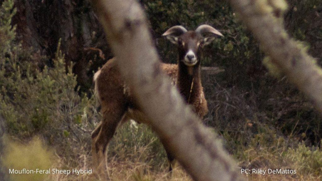 An image of a mouflon-feral sheep hybrid