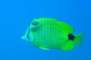 butterfly fish with a tumor