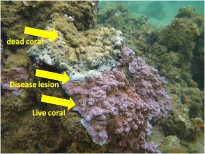 A coral colony with the black band disease showing dead coral, the disease lesion (or wound), and live coral.
