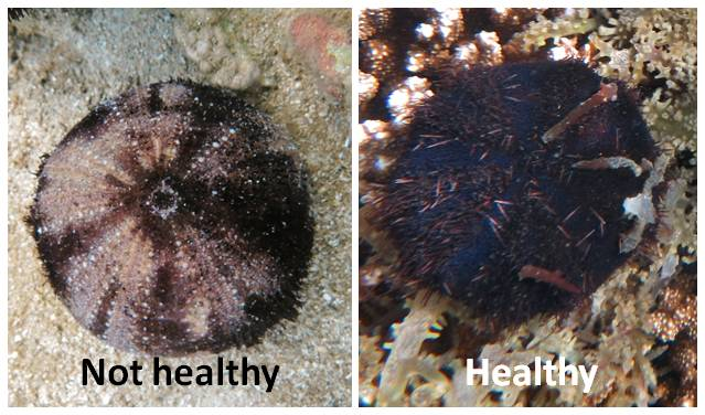 Urchins healthy VS disease