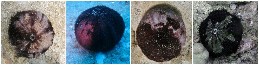 pictures of collector sea urchins showing disease lesions